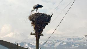 Patnos'ta Yuvasına girerken elektrik tellerine takılan leylek, telef oldu